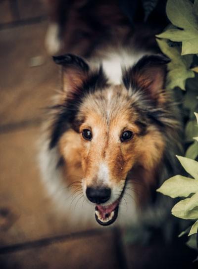 CEA kommt bei Collies öfters vor als bei anderen Hunden