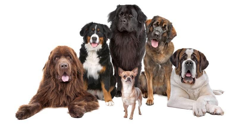 Wir testen Ihren Hund auf Dry Eye Curly Coat Syndrom